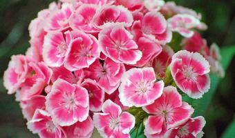 sweet william pests and diseases
