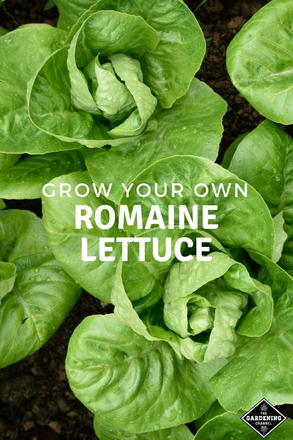 closeup of romaine in garden with text overlay grow your own romaine lettuce