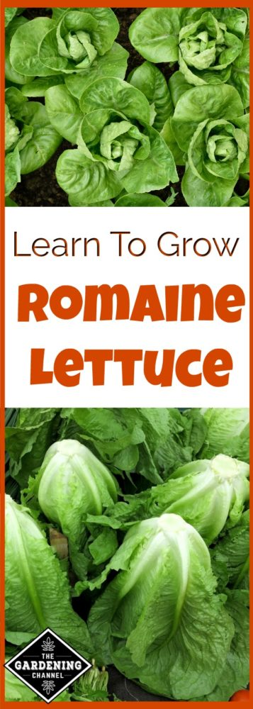 Learn to Grow romaine lettuce in your garden. It's easy to grow and packed with vitamins.