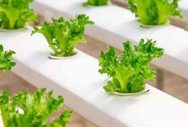 Romaine lettuce hydroponics