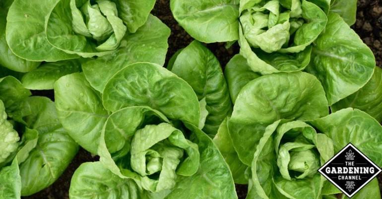 romain lettuce