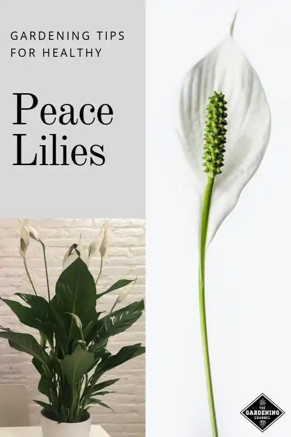 peace lily indoors and bloom close up with text overlay gardening tips for healthy peace lilies