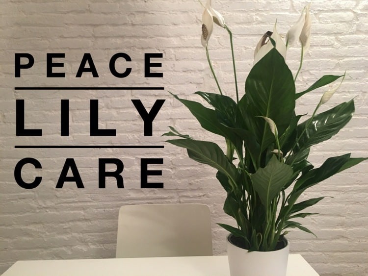Peace Lily Care How To Grow Peace Lily Plants
