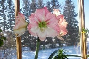 Amarylis flower