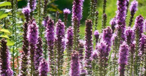 Growing Blazing Star Liatris Flowers A How To Guide Gardening