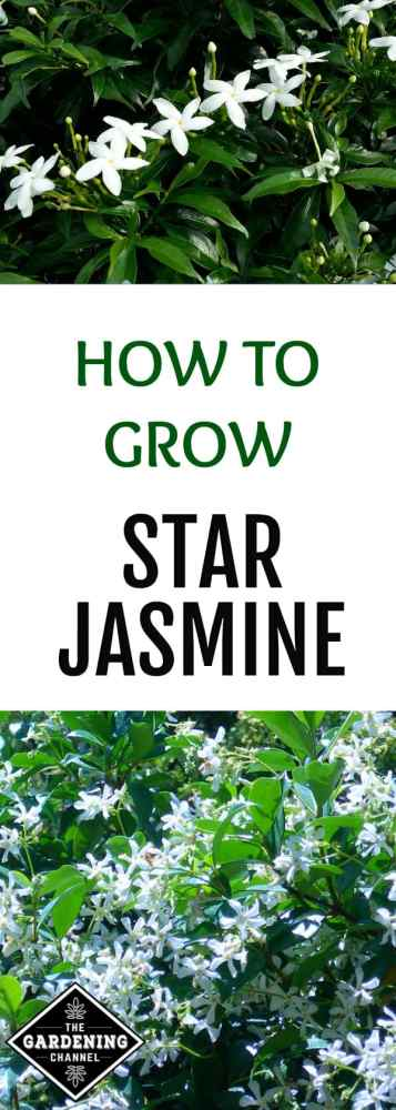 Looking for a fast growing, low-maintenance plant for your garden? The star or confederate jasmine might be just the thing.