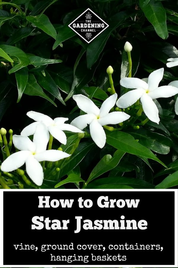 star jasmine in garden with text overlay how to grow star jasmine vine, ground cover, containers, hanging baskets