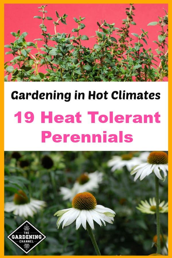 thyme and white coneflower with text overlay gardening in hot climates 19 heat tolerant perennials