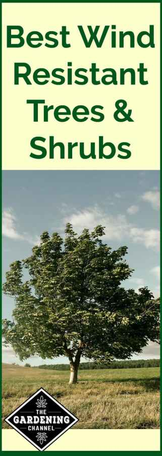 best wind resistant trees and shrubs a list of 21 options