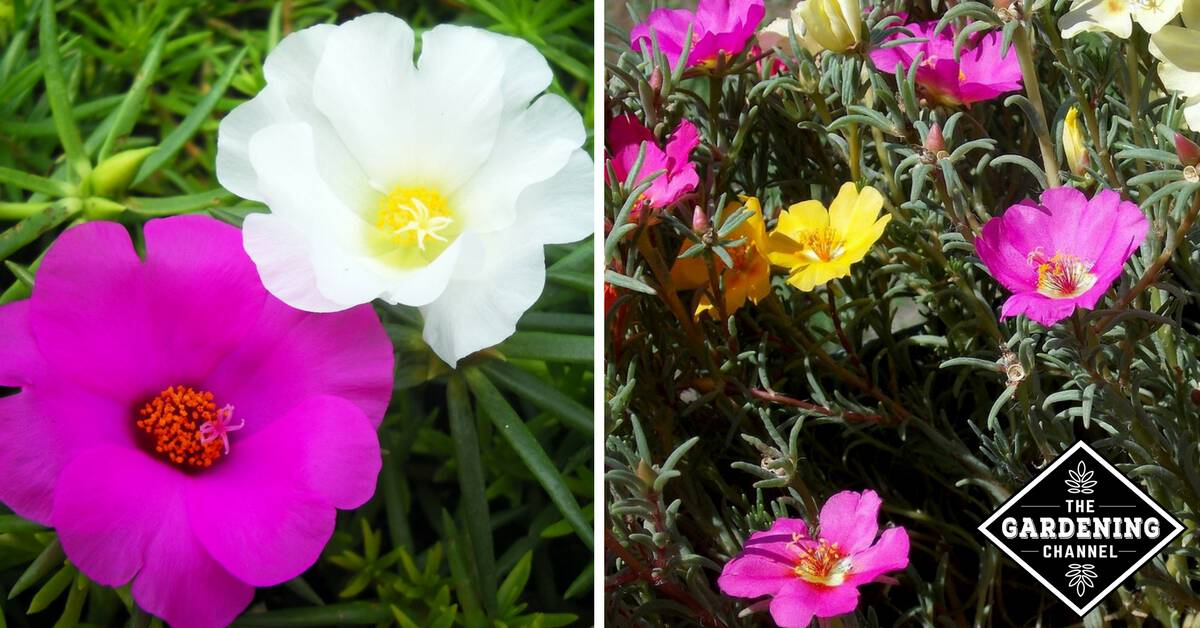 how to grow rose flower