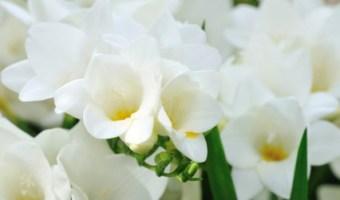 Freesia flowers blooming