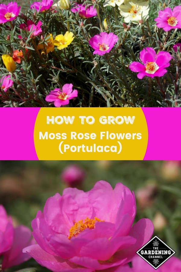moss rose flowers pink moss rose with text overlay how to grow moss rose flowers portulaca
