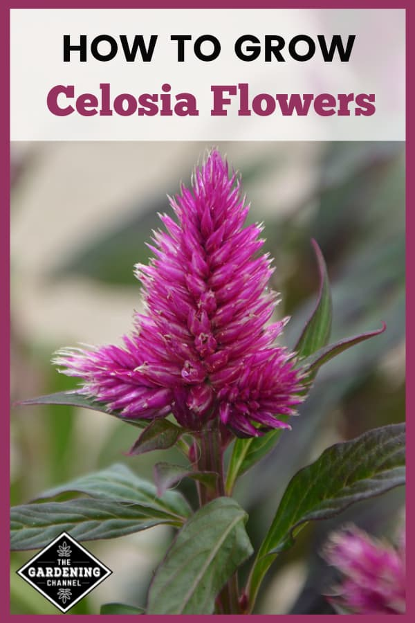 purple cockscomb flower with text overlay how to grow celosia flowers