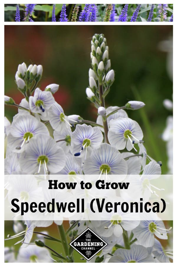 purple and white veronica speedwell flowers with text overaly how to grow speedwell veronica