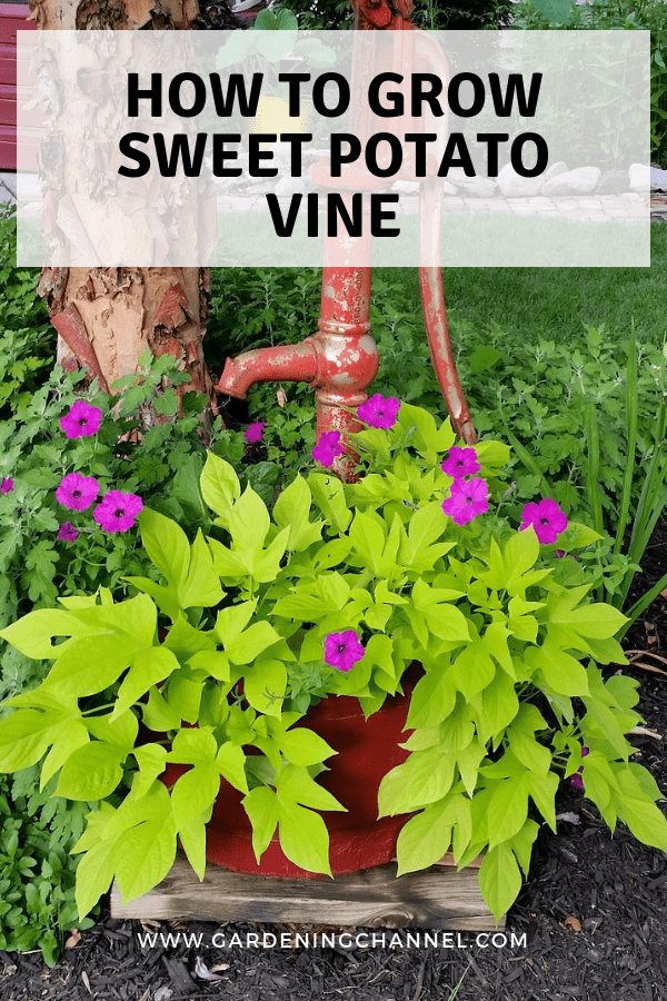 sweet potato vine in container with text overlay how to grow sweet potato vine