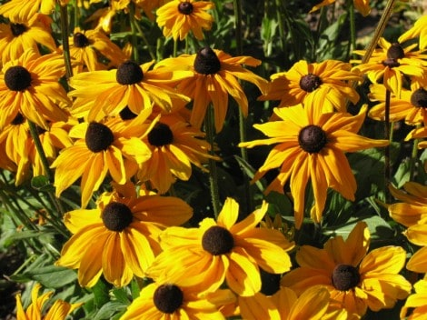 grow-black-eyed-susans
