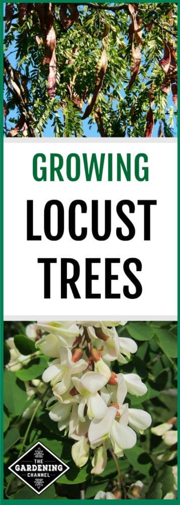 honey locust tree and black locust tree with text overlay growing locust trees