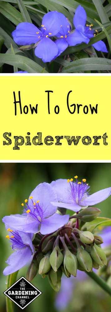 blue spiderwort blooms purple spiderwort with text overlay how to grow spiderwort