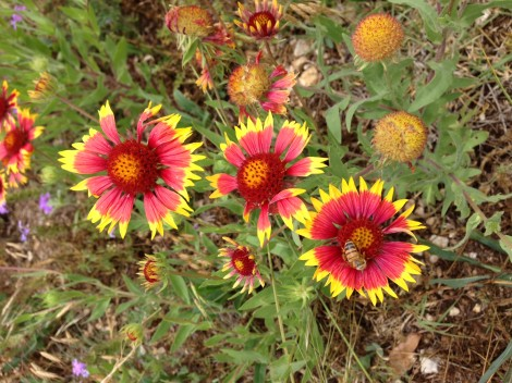 Gaillardias indian blanket flowers