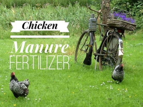 Using Chicken Poop as Organic Fertilizer