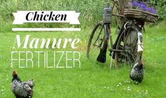 Using Chicken Poop As An Organic Fertilizer