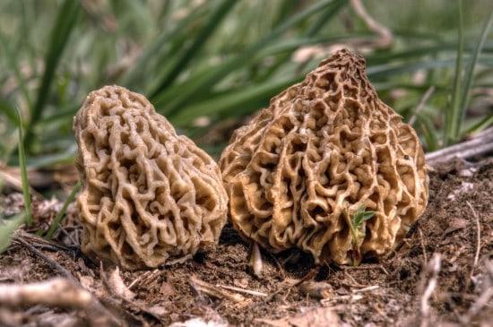 Edible Mushrooms Identification Resources
