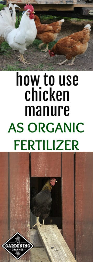 rooster and two hens outside chicken tractor and chicken in chicken coop with text overlay how to use chicken manure as organic fertilizer