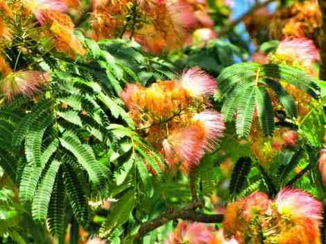 grow mimosa tree