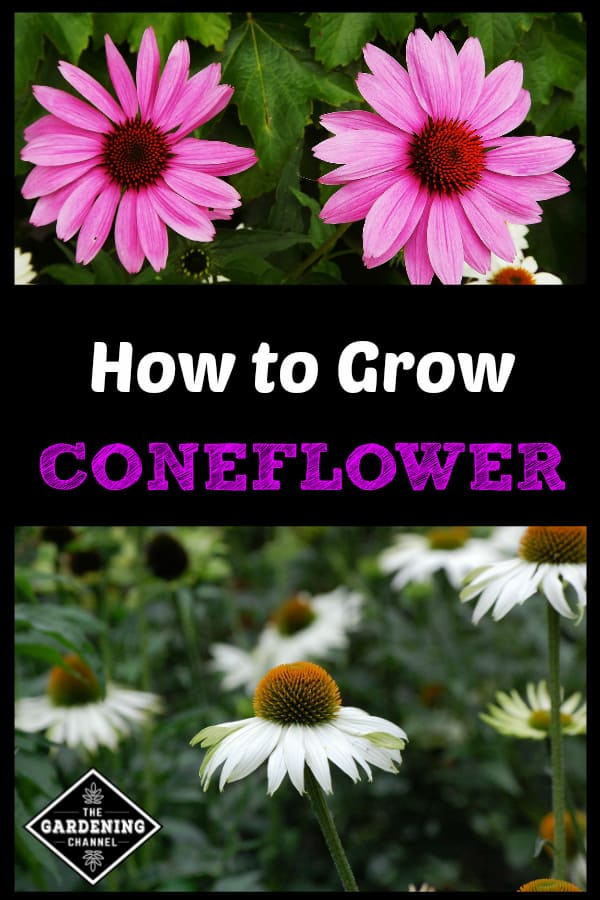 purple coneflower and white coneflowers with text overlay how to grow coneflower
