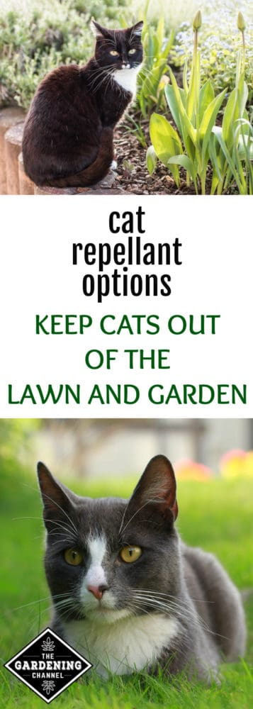 cat sitting beside flower bed and cat in lawn with text overlay cat repellant options keep cats out the lawn and garden