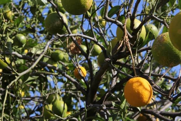 Common Diseases Of Orange Trees Gardening Channel