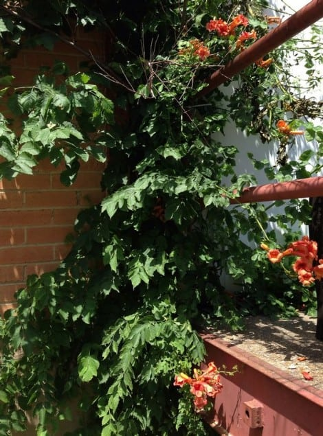 trumpet vine growing on a building wall