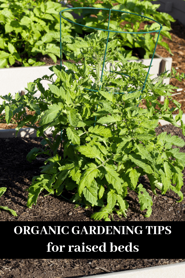 raised bed with tomatoes with text overlay organic gardening tips for raised beds