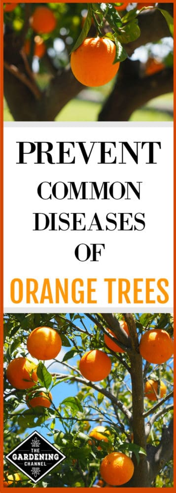 These gardening tips cover some of the most common problems orange trees suffer. When growing your own oranges, keep these gardening tips in mind for healthy orange trees.