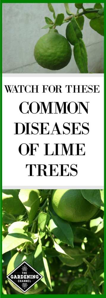 In spite gardening precautions, lime trees occasionally suffer disease and insect pests. Learn with these gardening tips the most common problems you're likely to see and strategies for treatment.
