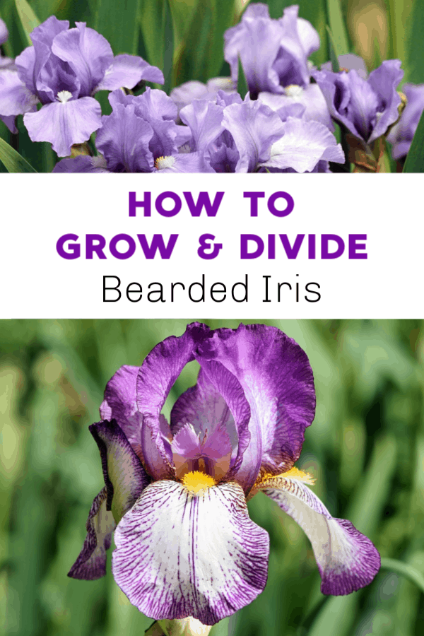 bearded iris to be divided and close up of bearded iris with text overlay how to grow and divide bearded iris