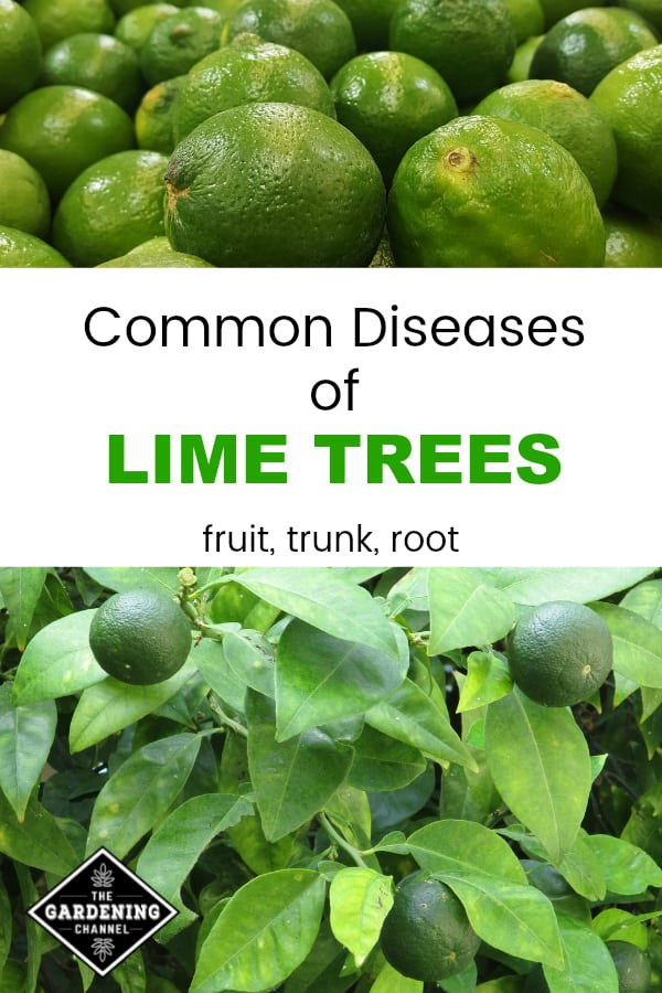 limes and lime trees with text overlay common diseases of lime trees fruit trunk root