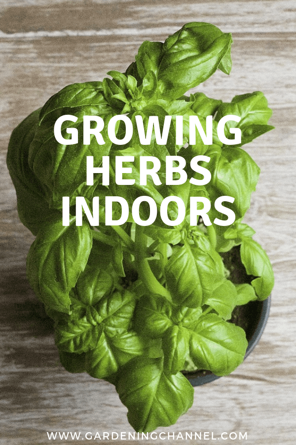 basil indoors with text overlay growing herbs indoors
