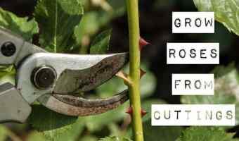 Take Cuttings to Grow Roses