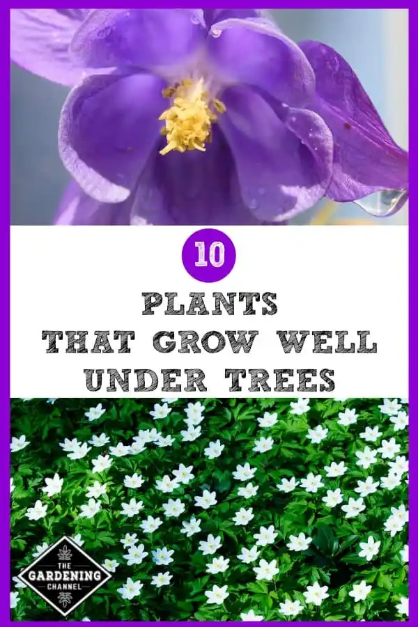 purple columbine flowers and white vinca with text overlay 10 plants that grow well under trees