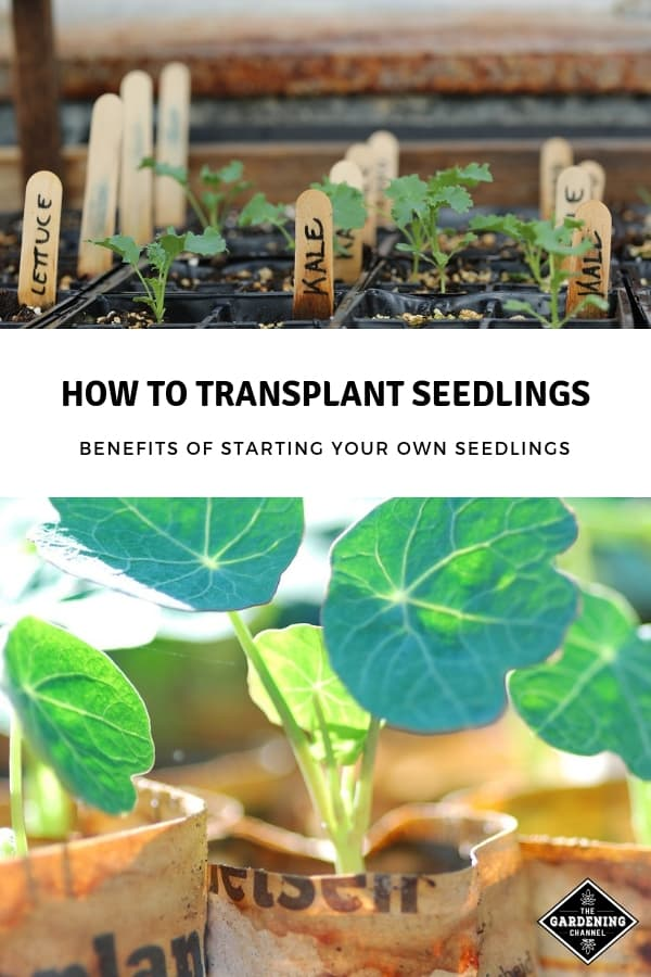 started seeds and flower seeds started in newspaper pots with text overlay how to transplant seedlings benefits of starting your own seedlings