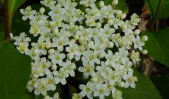 Blackhaw Viburnum flowers