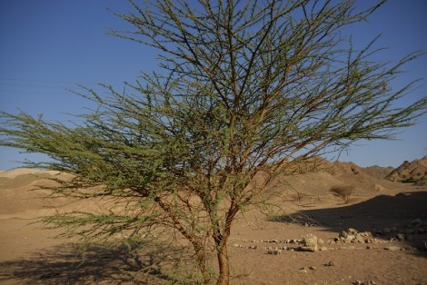 How To Grow Acacia Tree Gardening Channel