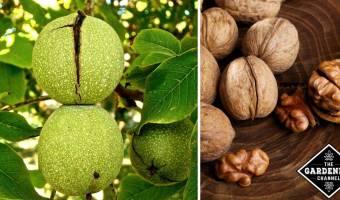Growing Nut Trees