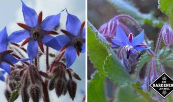 borage flowers and borage leaves and flowers