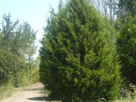 Flickr Creative Commons photo of a Texas cedar tree courtesy of gurdonark.