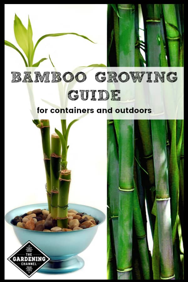 potted bamboo and bamboo outdoors with text overlay bamboo growing guide for containers and outdoors