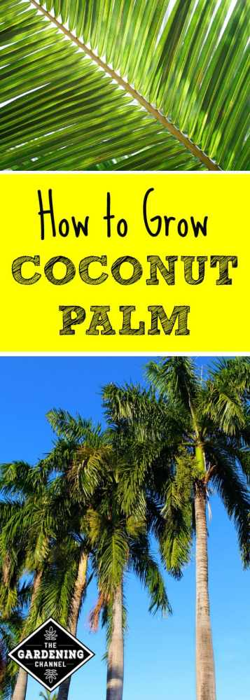 coconut palm leaf closeup with coconut palm trees with text overlay how to grow coconut palm