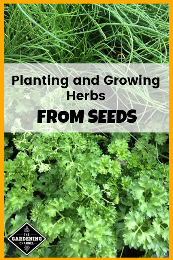 chives and parsley growing in garden with text overlay planting and growing herbs from seeds