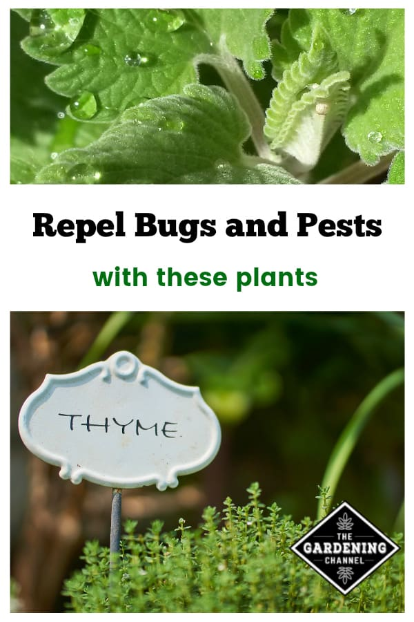 catnip and thyme with text overlay repel bugs and pests with these plants